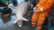 WENZHOU, CHINA - APRIL 25: (CHINA OUT) <br /> <br /> 600 Kg Pig falls into Well<br /> <br /> Firefighters catch a 600 kg pig from a well on April 25, 2014 in Wenzhou, Zhejiang Province of China. The pig fell in a well at 7:30 local time and was saved by firefighters. <br /> ©Exclusivepix