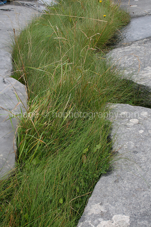 Grass growing between limestone rock on Inis Oirr the Aran Islands Galway Ireland