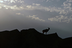 A big horned sheep stands on top of a rock formation, Badlands National Park, South Dakota, United States of America