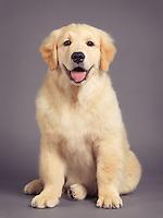 Studio portrait of a cute Golden retriever four month old puppy