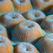 Close-up of a colony of Great Star Coral (Montastrea cavernosa)heads, South Water Caye, Belize