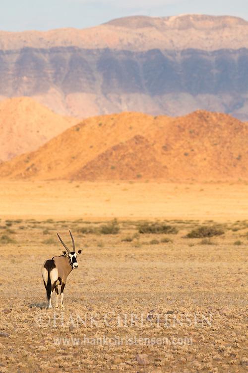 A gemsbok oryx grazes in the desert savanna of western Namibia, orange red mountains rising dramatically behind.