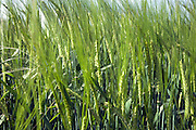 close up of wheat in spring time