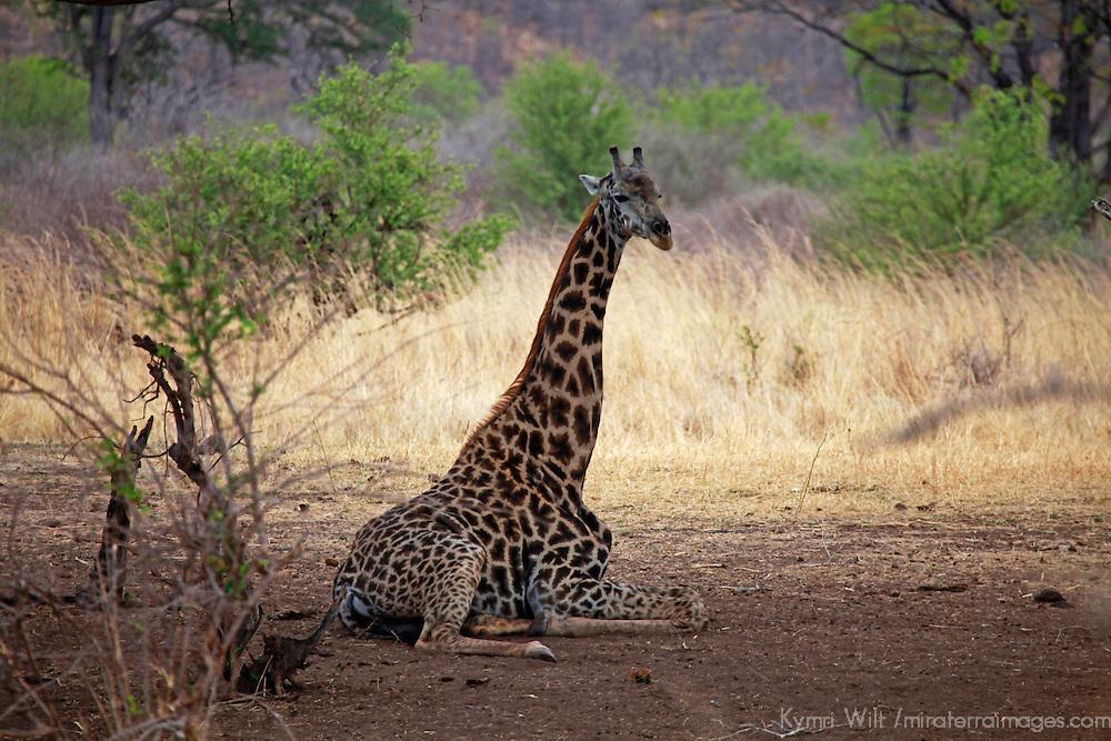 Africa, Zimbabwe, Victoria Falls. Giraffe at Victoria Falls Private Game Reserve.