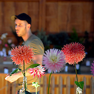 Old Bethpage, New York, USA. September 28, 2014. At the Dahlia flower category table, a young man looks at entries of colorful large cut blooms displayed at the172nd Long Island Fair, a six-day fall county fair held late September and early October. A yearly event since 1842, the old-time festival is now held at a reconstructed fairground at Old Bethpage Village Restoration.
