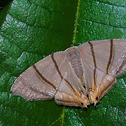 A Orudiza protheclaria moth in Pang Sida National Park.