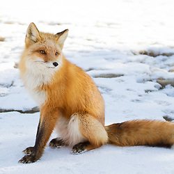 A spring fox sits on a frozen creek in southcentral Alaska.