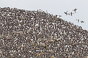 A sea stack off Chapman Point near Cannon Beach, Oregon, is completely covered with Common Murres (Uria aalge), also known as Common Guillemots. The area hosts one of the largest colonies of breeding murres on the Oregon coast.