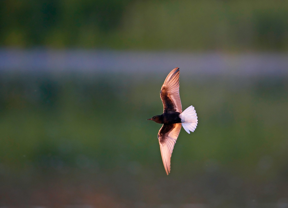 White-winged Tern (Chlidonias niger) Pusztaszer Nature Reserve, Hungary