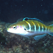 Bluehead inhabit reefs in Tropical West Atlantic; picture taken Grand Cayman.
