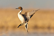 Northern Pintail, Anas acuta, male, Clay County, Nebraska