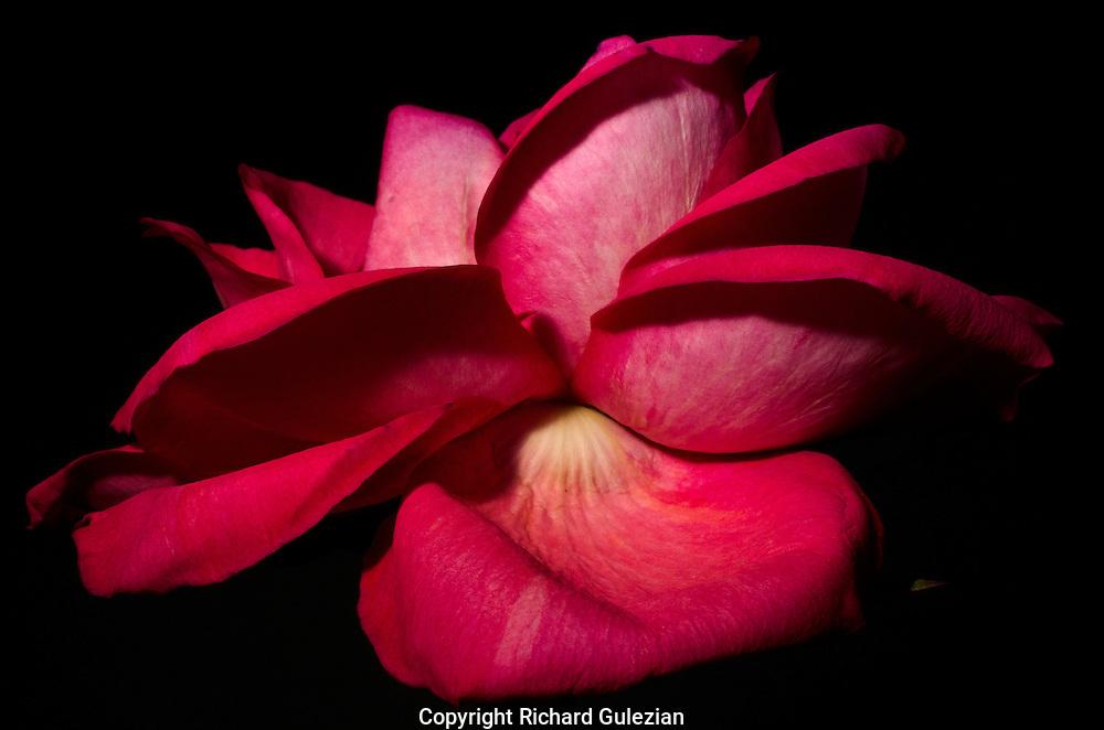 Red Rose 4 2016