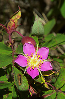 Wild rose (rosa acicularis), Kanaskis, Alberta Canada. The wild rose is Albertas Provincial emblem   Photo: Peter Llewellyn