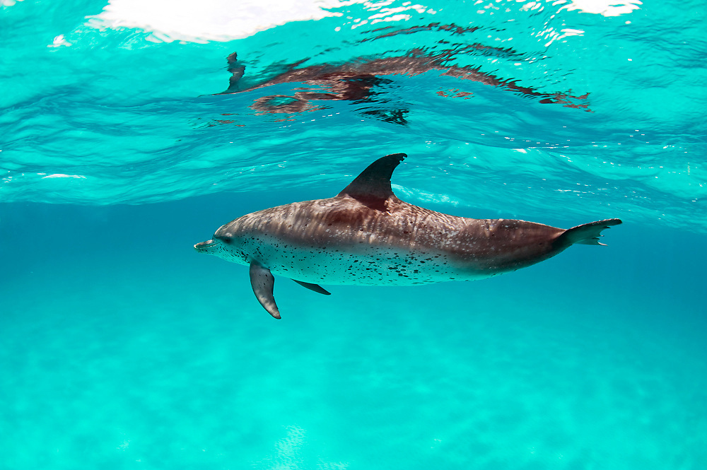 Atlantic Spotted Dolphin (Stenella frontalis) in the White Sand Ridge, Northern Bahamas Image available as a premium quality aluminum print ready to hang.