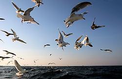 NORWAY LOFOTEN HENNINGSVAER 28MAR07 - Seagulls scavenge behind the Utheim Jr, a cod fishing boat off Henningsvaer on the Lofoten islands...jre/Photo by Jiri Rezac..© Jiri Rezac 2007..Contact: +44 (0) 7050 110 417.Mobile: +44 (0) 7801 337 683.Office: +44 (0) 20 8968 9635..Email: jiri@jirirezac.com.Web: www.jirirezac.com..© All images Jiri Rezac 2007 - All rights reserved.