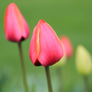 """""""Isn't She Lovely""""<br /> <br /> Beautiful pastel hues in this lovely image of pink and yellow tulips!!<br /> <br /> Flowers by Rachel Cohen"""