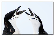 Two Chinstrap Penguins displaying in close up.  South Shetland Islands, Antarctica. Nikon D500, 200-400mm @ 380mm (570mm in full frame), f5, EV+1.33, 1/2500sec, ISO400, Aperture priority