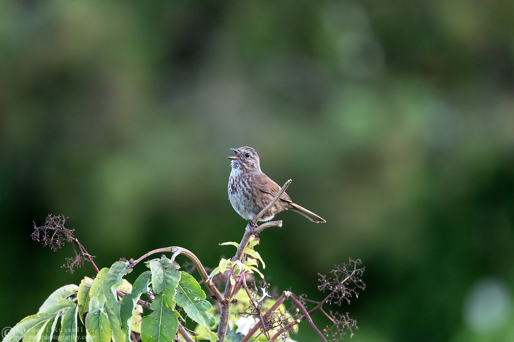 A Song Sparrow (Melospiza melodia) sings while sitting on a branch at Blackie Spit in Surrey, British Columbia, Canada.