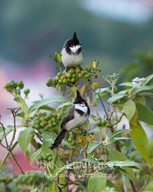Two red-whiskered bulbuls perch on a berry bush in pre-dawn light, Ooty, Tamil Nadu, India.