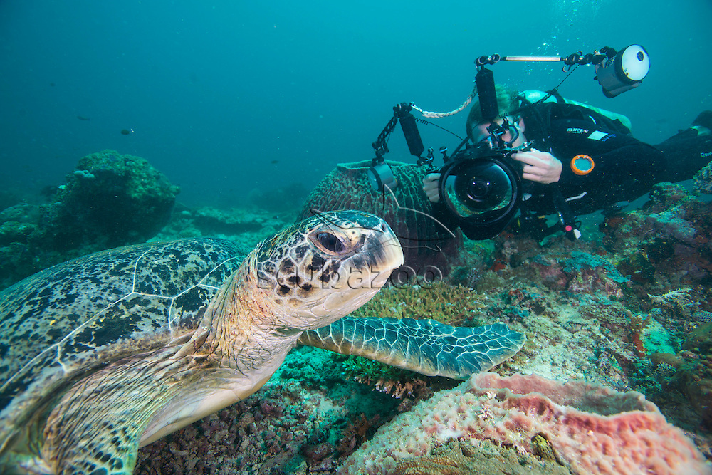 Photographer taking a picture of a Green Turtle, Chelonia mydas, Mabul Island, Sabah, Malaysia, Borneo, South China Sea,