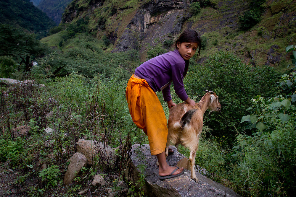 A nepalese girl holds onto a goat to keep it from running off a cliff as a jeep speeds past.
