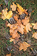 Pine cones and plane leaves in autumn in Suffolk, England, UK