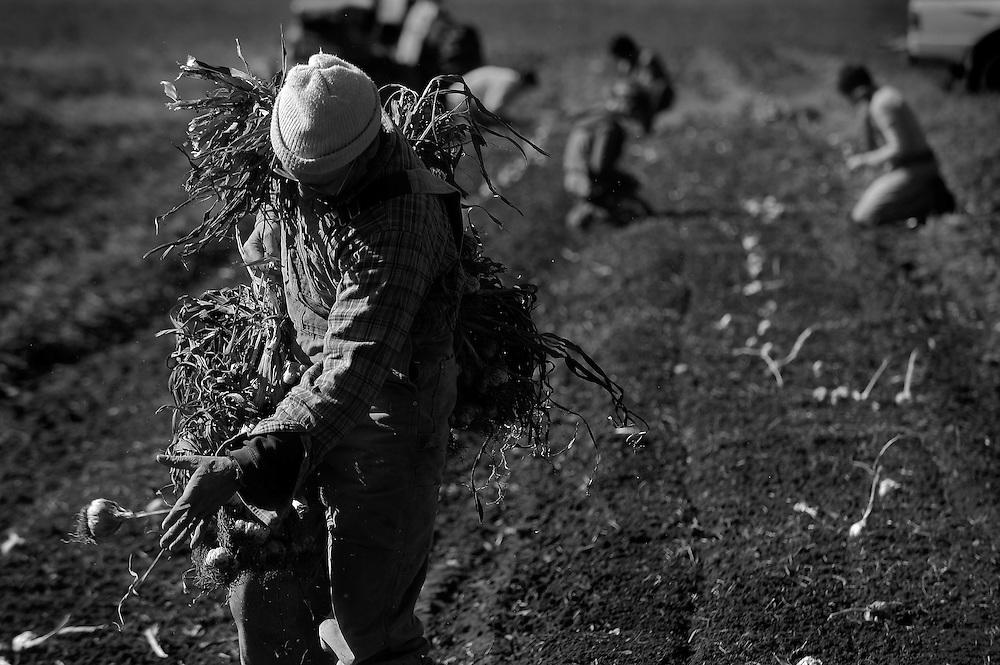DAVID ZALAZNIK/JOURNAL STAR Henry  Brockman planting garlic.
