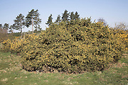 Gorse bushes and pine trees, Suffolk Sandlings heathland landscape, East Anglia, England