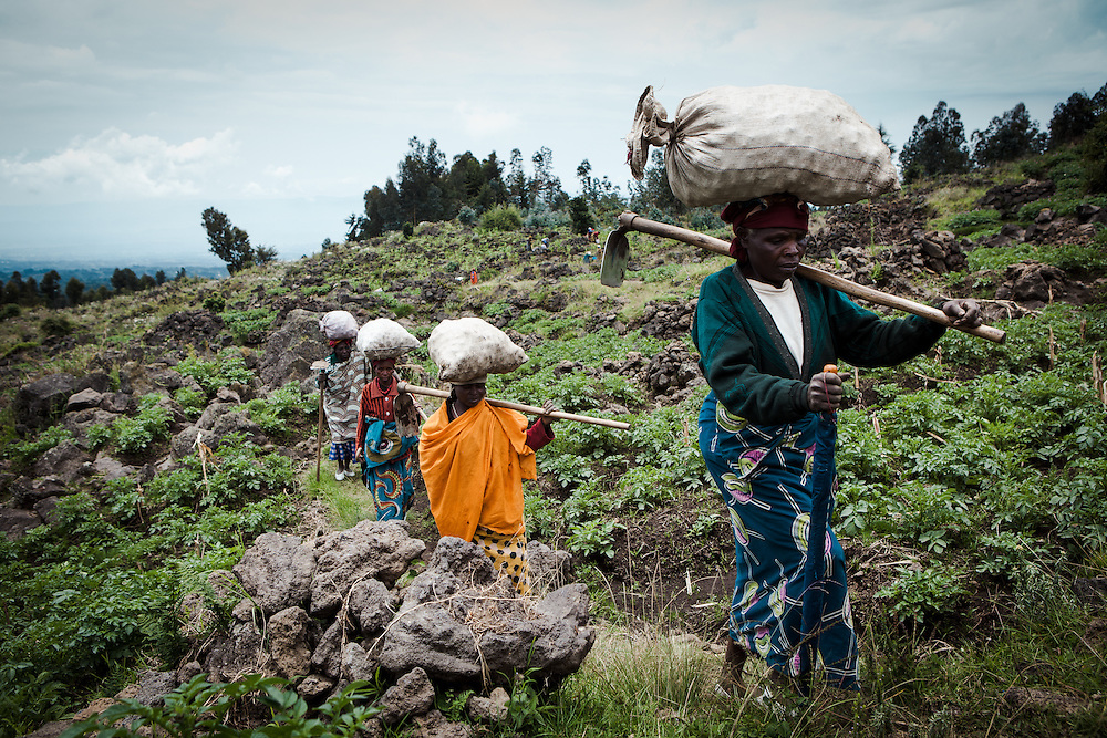 Women who from part of the co-operative Indatwailumurimu, harvest Irish potatoes in the fields close to their village. Shingiro District, Rwanda