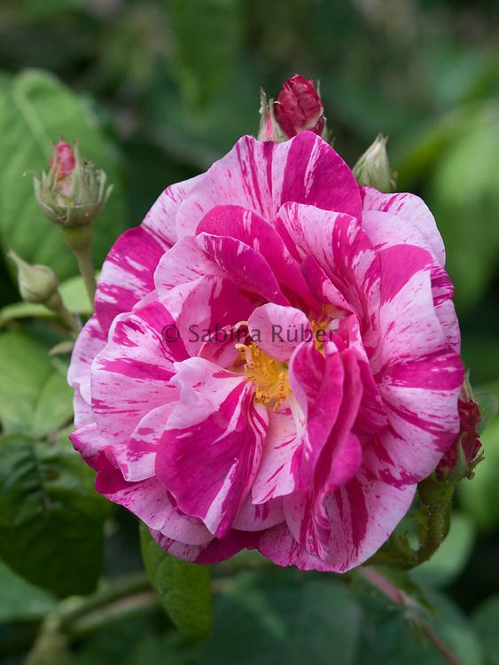 Rosa 'Ferdinand Pichard' - shrub rose