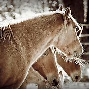 Horses and Mules feeding during an Ozarks winter day.