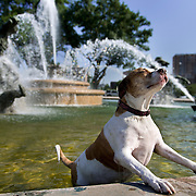 Bianca, an American bulldog/pit mix, owned by Victoria and Shawn Joe of Kansas City, Mo., used the water in the JC Nichols Memorial Fountain on the Country Club Plaza to cool down Thursday evening from the scorching summer temperatures.