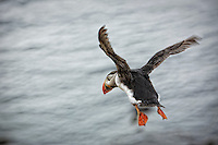 A puffin in flight at Latrabjarg cliffs in Iceland.  These cliffs are home to millions of birds, including puffins.