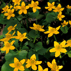 Urban Forestry Center, Portsmouth, NH..Marsh Marigolds, Caltha palustris, in a New Hampshire forest...