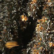 """Monarch Butterfly (Danaus plexippus).Santuario de la Mariposa Monarca """"Piedra Herrada"""".Estado de Mexico (MEXICO)"""