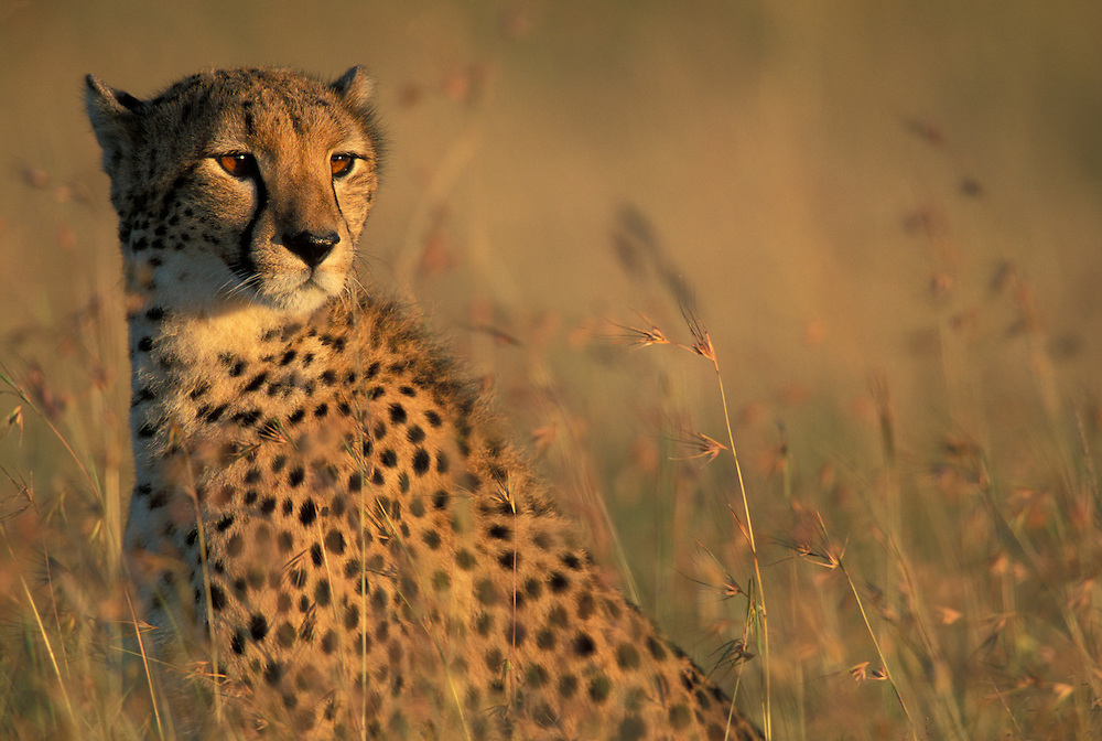 Kenya, Masai Macra Game Reserve, Tight portrait of Cheetah (Acinonyx jubatas)  sitting in tall savanna grass at sunrise