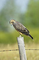 Rough-legged Hawk (Buteo lagopus). near to Marden, Alberta, Canada