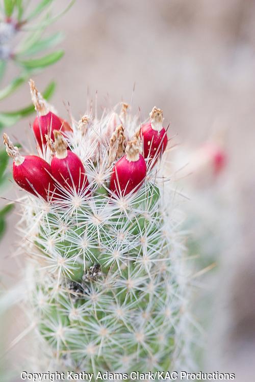 Cylinder bells (Echinocereus chloranthus) fruit, Chihuahuan desert