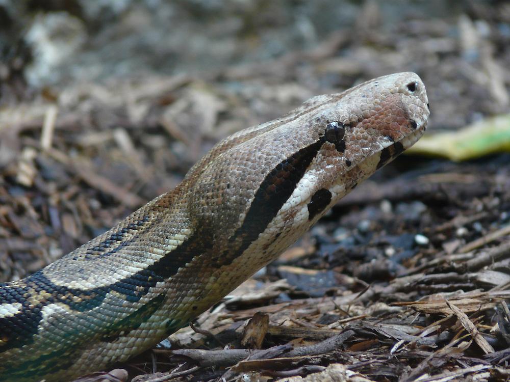 EN&gt; Portrait of a snake: a boa  <br /> SP&gt; Retrato de una serpiente: una boa