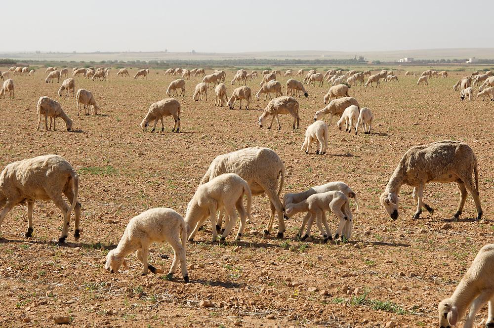 Sheep grazing in desert scrub, Morocco