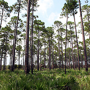 Pine tree forest along the Big Bend Scenic Highway in the Apalachicola National Forest in Florida. (AP Photo/Alex Menendez) Florida scenic highway photos from the State of Florida. Florida scenic images of the Sunshine State.