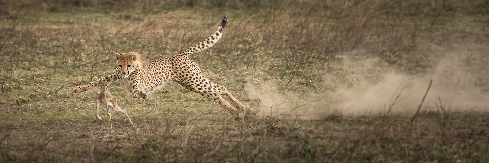 A young cheetah learns to hunt in Ndutu, Tanzania