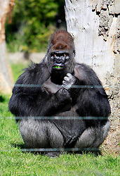 © Licensed to London News Pictures 02/05/2013.Kumbuka, a new male arrival to ZSL London Zoo from Paignton Zoo in Devon, munches on a green pepper. He is a 15 year old western lowland gorilla who weighs a hefty 29 stone (185 kgs)..London, UK.Photo: Anna Branthwaite/LNP