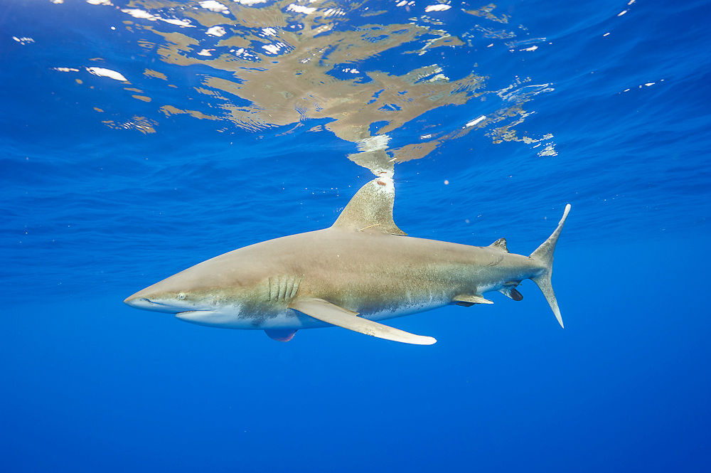 An endangered Oceanic White-tip Shark, Carcharhinus longimanus, swims offshore Cat Island, Bahamas, Atlantic Ocean.