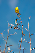 Yellowhammer Pictures - Photos