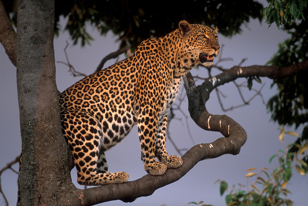 Africa, Kenya, Masai Mara Game Reserve, Adult Female Leopard (Panthera pardus) resting on tree branch at sunset