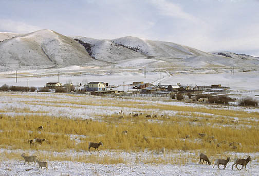 Bighorn Sheep (Ovis canadensis) grazing with cattle in southwest Montana during the winter.