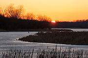 A coyote, standing on the frozen McGinnis Slough, searches for food as the sun sets in the Orland Grove Forest in Orland Park, Illinois.