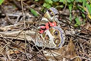 American Lady - Hodges#4434 (Vanessa virginiensis)<br /> United States: Alabama: Tuscaloosa Co.<br /> Tulip Tree Springs off Echola Rd.; Elrod<br /> 24-May-2017<br /> J.C. Abbott #2951