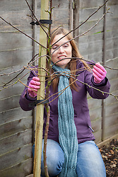 Planting a bare rooted apple tree. Tying branches down to encourage more fruit
